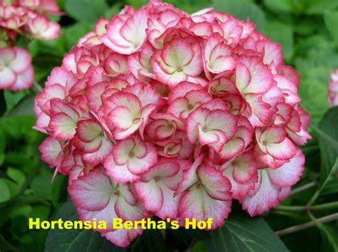 wit blad rode rand witte bloemen vijver boerenhortensia s archives hortensia bertha s hof