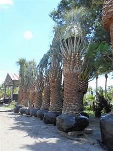 Butia capitata, Cocos australis, Pindo Palm, Wine Palm ...