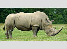 De fausses cornes de rhinocéros pour réduire le braconnage