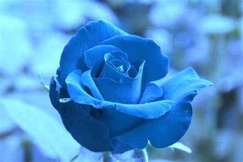 Beautiful Blue Roses Blue Rose ♥ Beautiful Blue