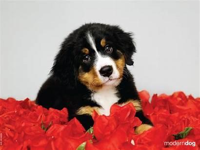 Wallpapers Dog Puppy Valentine Puppies Modern 1200