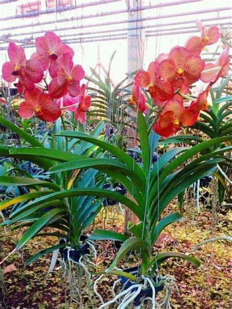 jual tanaman hias anggrek vanda rafles bangkok hybrid