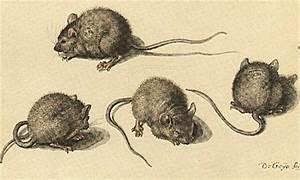 Répulsif Souris Efficace : r pulsifs naturels contre souris rats et rongeurs conomie solidaire ~ Melissatoandfro.com Idées de Décoration