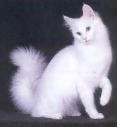 angora cats cat pictures gallery