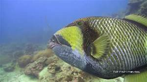Titan Triggerfish Attack (42) | Stock Video For Sale - YouTube