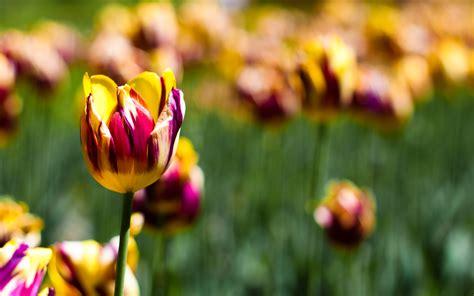 wallpaper tulips botanical garden spring blossom