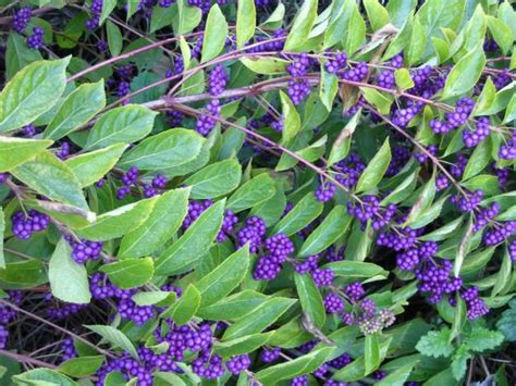 shrubs with purple berries q a shrubs for fall color hgtv