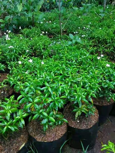 jual jual tanaman rombusa mini tanaman perdu hias