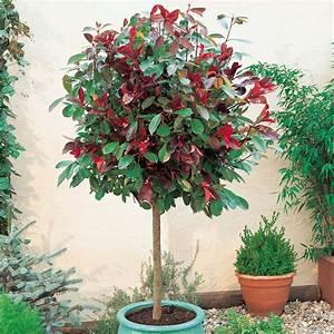 Red Robin Baum : photinia x fraseri 39 red robin 39 patio standard stranvaesia home pinterest garten and projekte ~ Frokenaadalensverden.com Haus und Dekorationen