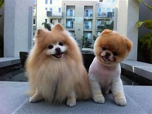 My Funny: Beautiful Pomeranian Puppy Named BOO | Pictures