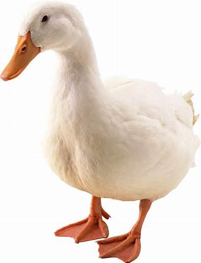Duck Goose Transparent Background Animals Pngimg Kb