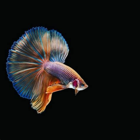 gambar ikan cupang wallpaper