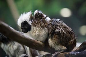 Cottontop Tamarin Baby Masters Cute in Just Two Weeks ...