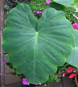 big leaf garden plants big leaf
