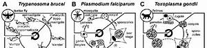Life Cycles Of Trypanosoma Brucei  Plasmodium Falciparum