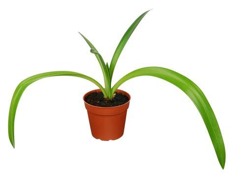 amaryllis blüht nicht amaryllis bl 252 ht nicht 187 woran kann s liegen ritterstern