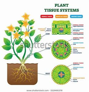 Plant Tissue Systems Vector Illustration Labeled Stock Vector  Royalty Free  1520495378