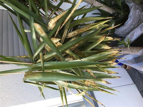 Yucca Palme Bekommt Gelbe Blätter by Palme Braune Bl 228 Tter Abschneiden Yucca Palme Schneiden Bl