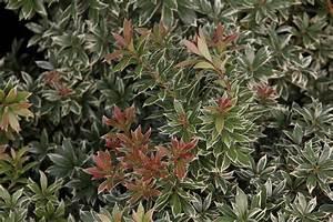 Sträucher Online Kaufen : japanische lavendelheide little heath pieris japonica little heath g nstig aus der baumschule ~ Buech-reservation.com Haus und Dekorationen