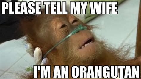 My Wife Meme - laughing vault funny pictures please tell my wife i m an orangutan
