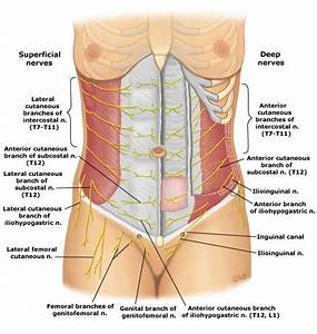 Anatomy Lesson  Nerves Of The Abdominal Wall