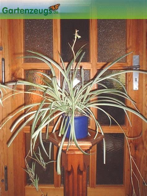 Wohnungsluft Zu Trocken by Gartenzeugs De Gr 252 Nlilie Chlorophytum Comosum