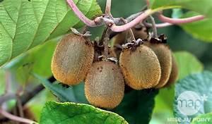 L Arbre Du Kiwi : le kiwi origine et culture jardinerie truffaut conseils arbres et arbustes fruitiers truffaut ~ Melissatoandfro.com Idées de Décoration
