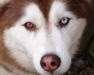 This red and white husky got a complete heterochromia with ...