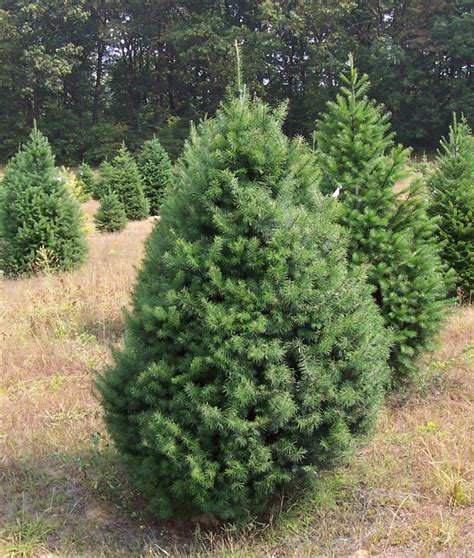 balsam fir tree water planting your seedling