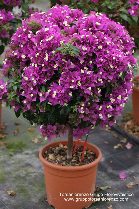 25 best ideas about bougainvillea tree on mediterranean houses style