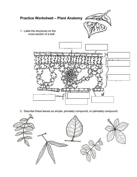 Leaf Anatomy Coloring Key by Leaf Anatomy Coloring Key Coloring Pages