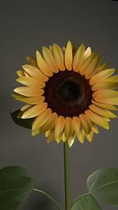Sunflower Flower 3d Model