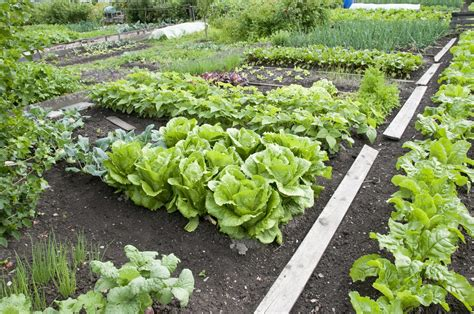Vegetable Planting Guide For Zone 8  Tips On Growing
