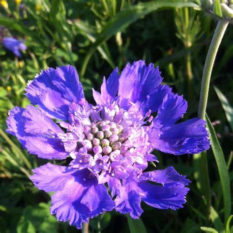 Scabiosa Caucasica Perfecta Blue From Neil Vanderkruk