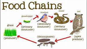 Food Chains For Kids  Food Webs  The Circle Of Life  And