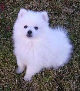 American Eskimo Dog - PETS 123