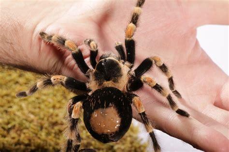 pet tarantula tarantula health and wellness pets4homes