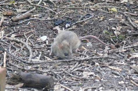 was tun gegen wanderratten was tun gegen ratten im garten ratten im garten was tun popular post with ratten im garten was