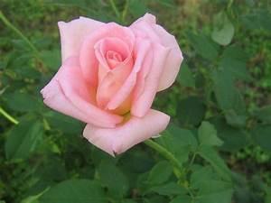 Significado de las rosas Florpedia