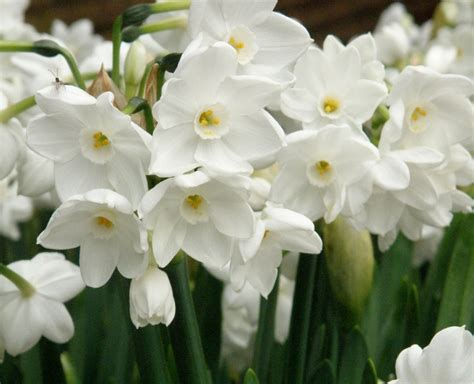 pacific horticulture society drought tolerant daffodils