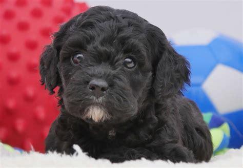 Cavoodle Puppies For Sale Chevromist Kennels Puppies Australia