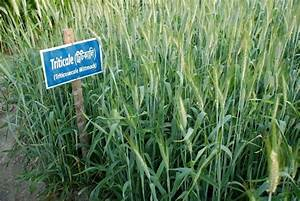 Triticale - World Crops Database