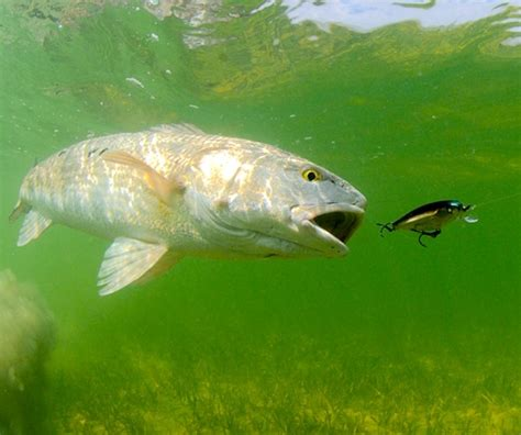 redfish chases lure jason arnold drowning worms