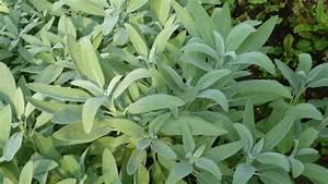Verholzten Lavendel Schneiden : salbei salvia officinalis ~ Lizthompson.info Haus und Dekorationen