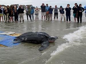 Saving Leatherback Sea Turtles in Charleston – THE TALON