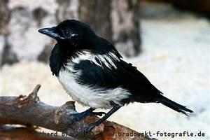 Elster Vogel Vertreiben : die elster steckbrief brutzeit nahrung vogel bilder ~ Lizthompson.info Haus und Dekorationen