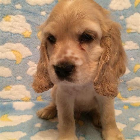english cocker spaniel puppies  sale east