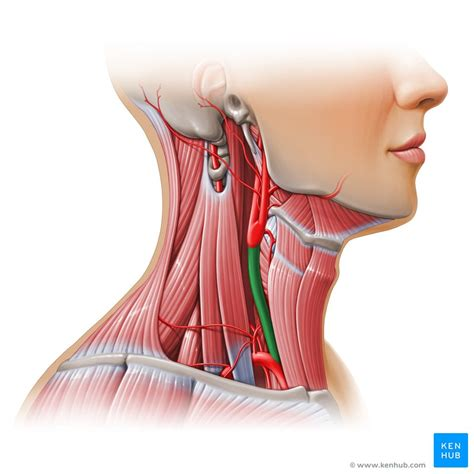 head  neck regions  anatomy kenhub