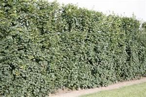 Darf Nachbar Meine Hecke Schneiden : hecke richtig pflanzen wurzelnackte hecke pflanzen ~ Lizthompson.info Haus und Dekorationen