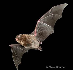 Insectivorous bats of Victoria